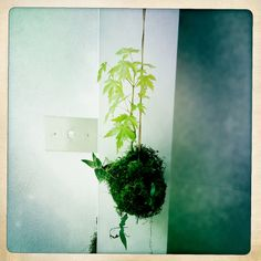 Kokedama (moss ball string gardens) - made & photographed by prettyshake