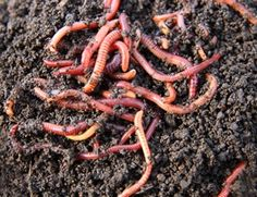 Raising earthworms is a great way to recycle kitchen waste and create organic compost for your gardens