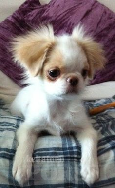 Japanese chin.....must be one of the cutest dogs ever!!!