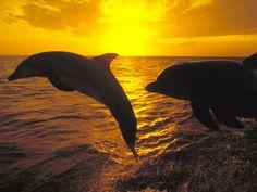 anim, sunrises, sea creatur, the ocean, sunset beach, sunsets, dolphins, wallpapers, beautiful creatures
