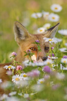 Fox in the Flowers  (Photo by Jeff Dyck)