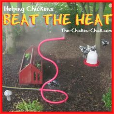 High heat is dangerous for chickens- heat stroke, heat stress and death can result when a chicken is overheated.