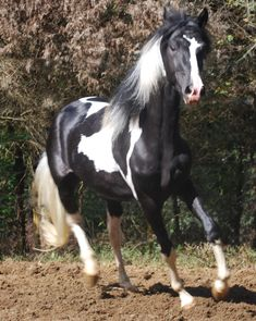 What a beautiful boy! From http://www.pintopaso.com/tucson.html# pinto paso fino stallion