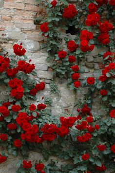 Lovely red climbing roses on brick wall