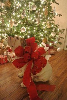 English bulldog christmas present #english #bulldog #englishbulldog #bulldogs #breed #dogs #pets #animals #dog #canine #pooch #bully #doggy #christmas #santa #presents #merrychristmas #winter #snow #newyear