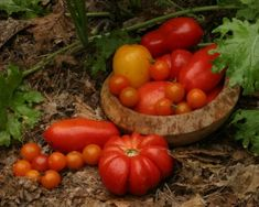 information on selecting tomato varieties or on growing, pruning, and trellising your plants, and protecting them from pests