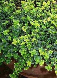 Mosquito repelling Creeping Thyme plant. It has citronella oil that makes it smell lemony. Need this!
