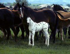 Appaloosa Foal White Spotted