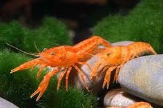 Beautiful pair of Mexican Dwarf Crayfish