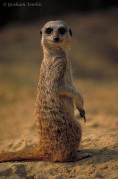 Meerkat Meerkat Meerkat