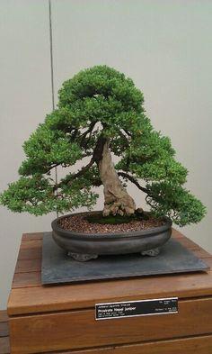 Prostrate Nepal juniper