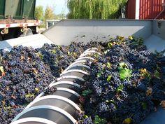 Mourvedre grapes in de-stemmer at Cline Cellars, Sonoma