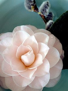 beautiful camelia blooming