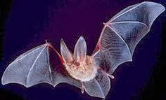 Discover+Your+Energy:+Animal+Totem-+Bats