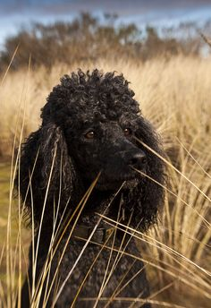 #Standard #Poodle