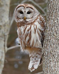 Barred Owl (also known as the Hoot Owl)