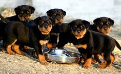 Rottweiler Puppies / These Puppies are Cute as Hell Aren't they?