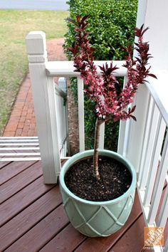Trendspotting: Add a Bonfire Patio Peach Tree to your edible container gardens!