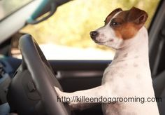 jack russells, dogs, car travel, pets, road trips, jack russell terriers, car ride, roads, dog behavior