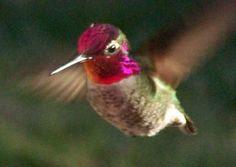 hummingbird = beija flor