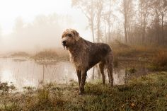 Irish wolfhound.  Want one someday.