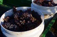 Buckets of Pinot Gris at Youngberg Hill in the heart of Oregon Wine Country.