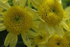 """Flors grogues"" de Yolanda Ramos"