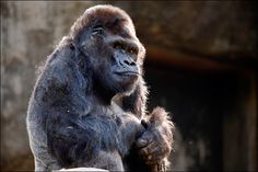 Ivan the gorilla, once a local store attraction, dies at Atlanta zoo