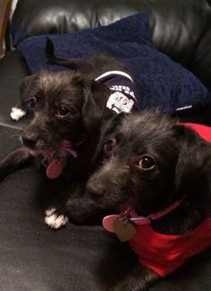Adopted 10-11-14  Parvo surviving sisters. Vienna Rae and Vegas June