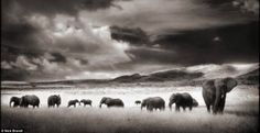African elephants are endangered species