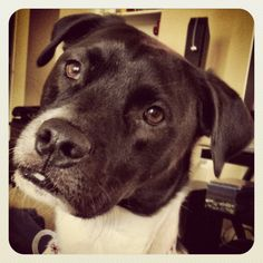 Sammy, Pit Bull and Border Collie mix. Adorable.looks like Cal