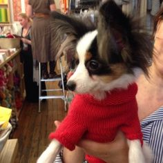 This little Papillion looks dashing in its teeny knit sweater!
