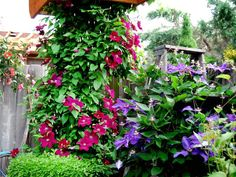 Old wooden ladders are perfect for supporting climbing vines, such as this clematis.