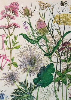 Vintage Botanical Prints Flowers. Wild Flowers. Yarrow, Thistle, Joe-Pye Weed... I forget what those little purple ones to the right are called.