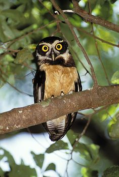 Spectacled Owl (Pulsatrix perspicillata). Photo by Rick & Nora Bowers.