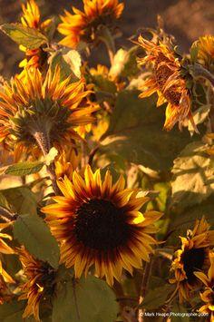 Lovely Sunflowers
