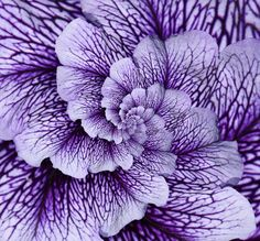Purple Petunia - we love how clear the golden spiral is in this!