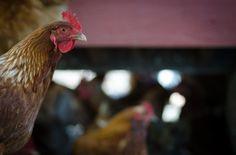 Six Reasons to Keep Backyard Chickens