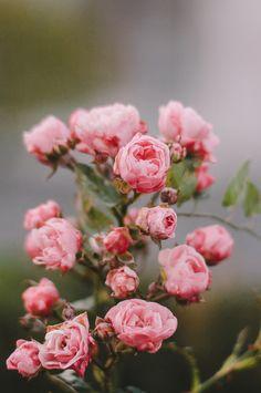 English tea roses - by Gábor Balogh