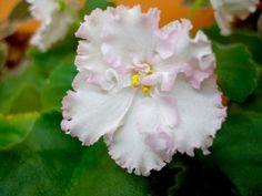 Saintpaulia, Rob's, Ma's, african violets   Nabídka rostlin