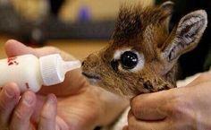 A baby giraffe being bottle fed