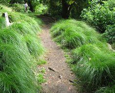 "Carex divulsa ""Berkeley Sedge"""