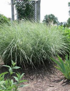 Maiden Grass is an arching, graceful grass that forms dense clumps of green or variegated foliage. This grass is used in the landscape as a specimen, screen or a nice mass of textured foliage. Also looks great near a pond! Maiden Grass requires a location in the landscape that receives full sun, but will tolerate some shade.          Common Name:Maiden Grass, Zebra Grass, Porcupine Grass, Eulalia, Silver Feather, Chinese Silver Grass, Eulalia Grass, Japanese Silver Grass  Botani...