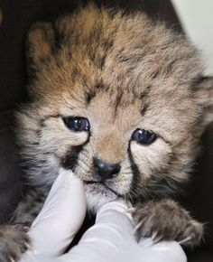 After a feeding, cheetah keeper Gil Myers cleans a one-month-old female cheetah cub, that was delivered via a rare caesarean section, Wednesday, May 23, 2012, at the National Zoo in Washington. The cub and her brother are expected to go on public display in the late summer.