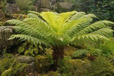 garden plant, cottag garden, trees, tree fern, ferns