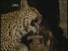 Leopard female takes care of a baboon baby.