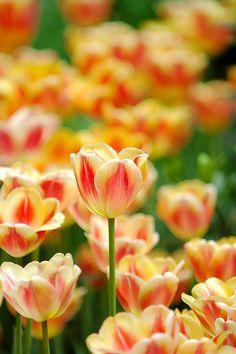 Keukenhof. Tulips