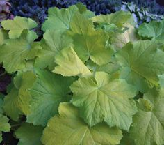 Heuchera Pistache - Coral Bells. Part shade (4-6 hrs. direct sun)  Full shade (< 4 hrs. direct sun) Mine seems to prefer to be on the shady side.