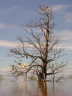 Rio Amazonas submerge árvore.