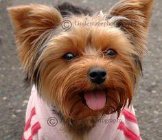 Yorkshire Terrier dog photo card handmade by Lindentreephotograph